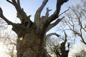 Gog & Magog - ancient trees in Glastonbury, UK
